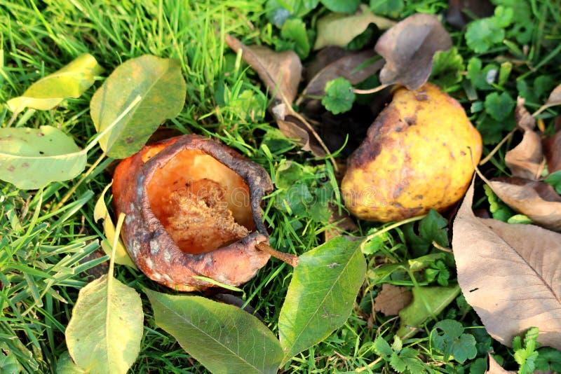Las peras maduras y putrefactas con el medio centro comido rodearon con las hojas marrones verdes y secadas frescas caidas en hie foto de archivo