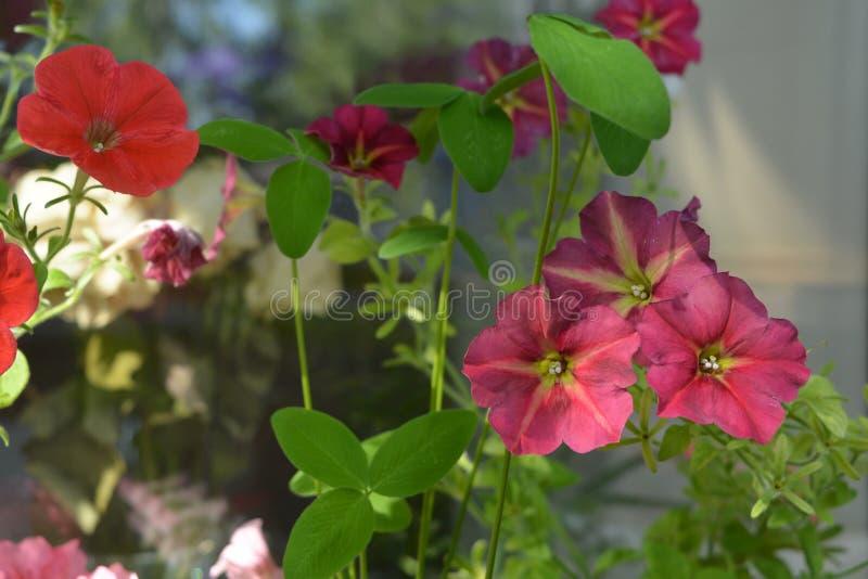Las petunias florecientes crecen con el trébol en pequeño jardín en el balcón Greening casero foto de archivo