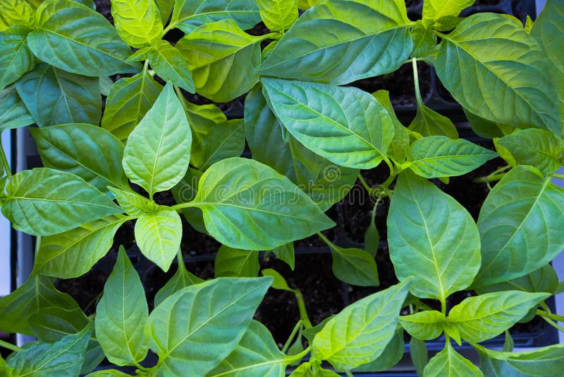 Las pimientas de las plantas con las hojas crecen de las semillas en tierra en cajas fotos de archivo libres de regalías