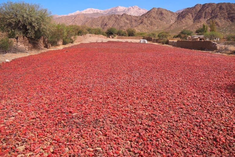 Las pimientas rojas se secan en el sol de Argentina fotografía de archivo libre de regalías
