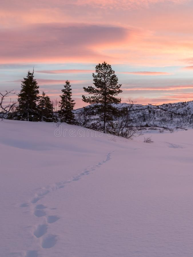 Las pistas de un zorro que lleva a algunos árboles spruce en invierno ajardinan con nieve y salida del sol hermosa, en Setesdal,  imagen de archivo