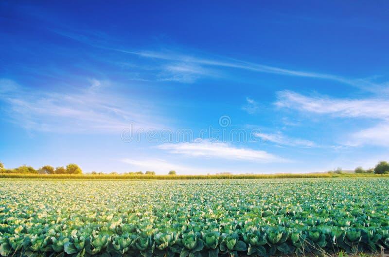 Las plantaciones de la col crecen en el campo Vehículos frescos, orgánicos Agricultura del paisaje tierras de labrantío, cultivan imagen de archivo