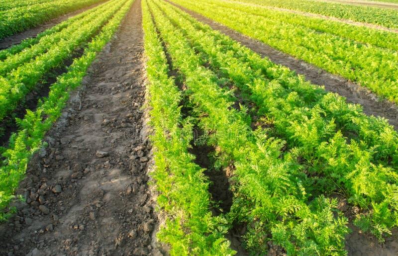 Las plantaciones de la zanahoria crecen en el campo filas vegetales Veh?culos crecientes Granja Paisaje con la regi?n agr?cola Co fotos de archivo