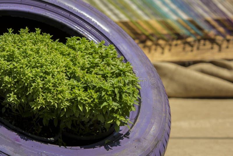 Las plantas de la albahaca en neumático de coche, reciclan cultivar un huerto original fotografía de archivo