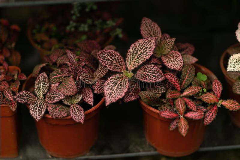 Las plantas de la naturaleza de Borgoña en potes se cierran para arriba imagen de archivo