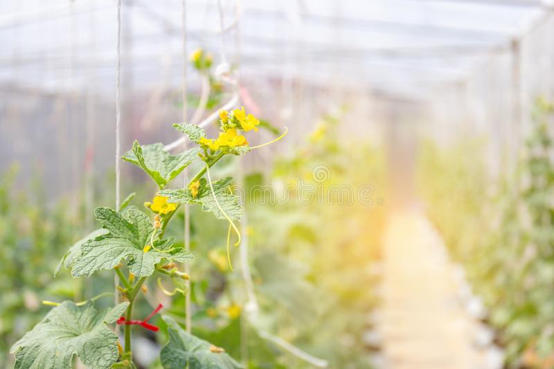 Las plantas de los melones del cantalupo que crecen en invernaderos de la película cultivan imagen de archivo libre de regalías