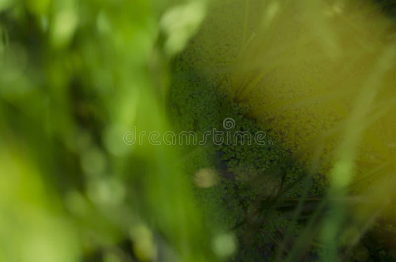 Las plantas florecientes de la lenteja de agua flotan en los tanques de agua bajo sol a través de la hoja del árbol imagen de archivo libre de regalías