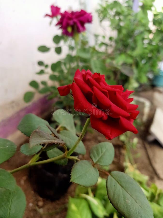 Las plantas muestran en rojo color de rosa imagen de archivo
