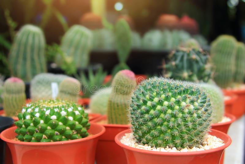 Las plantas ornamentales del cactus en jardinera con el color llamativo tan hermoso en el jardín, hexagonus del cirio son nombre  imagenes de archivo