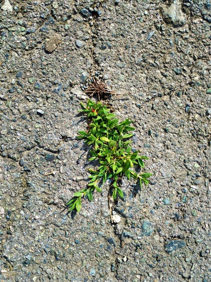Las plantas pequeñas, verdes crecieron en una grieta del asfalto gris fotografía de archivo