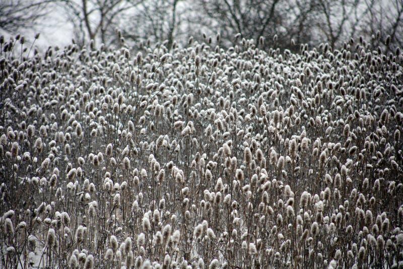 Las plantas silvestres cubiertas por la nieve fresca después de invierno asaltan imagen de archivo libre de regalías