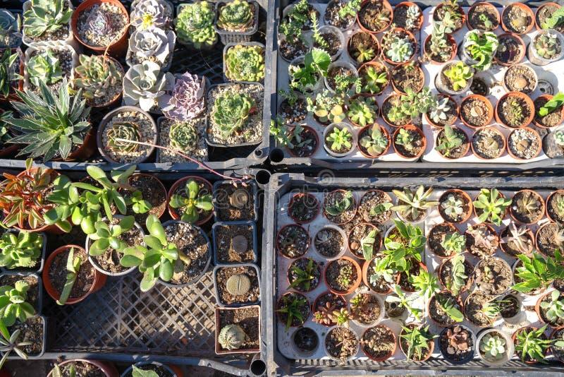 Las plantas suculentas en potes en venta en el mercado callejero, mucho diverso cactus en macetas mezclan la venta en tienda de f imagen de archivo libre de regalías