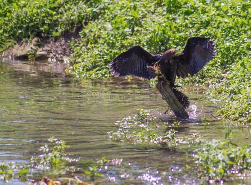 Las plumas bronceadas del ala se confinan en negro y son un contraste cromático con el resto del cuerpo; el plumaje más bajo yo imagen de archivo