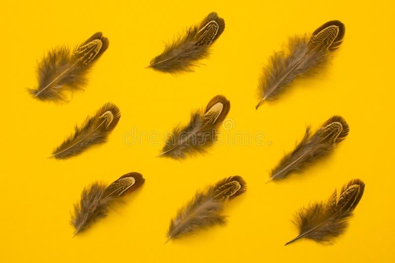 Las plumas del faisán agrupan endecha del plano en fondo anaranjado fotos de archivo libres de regalías