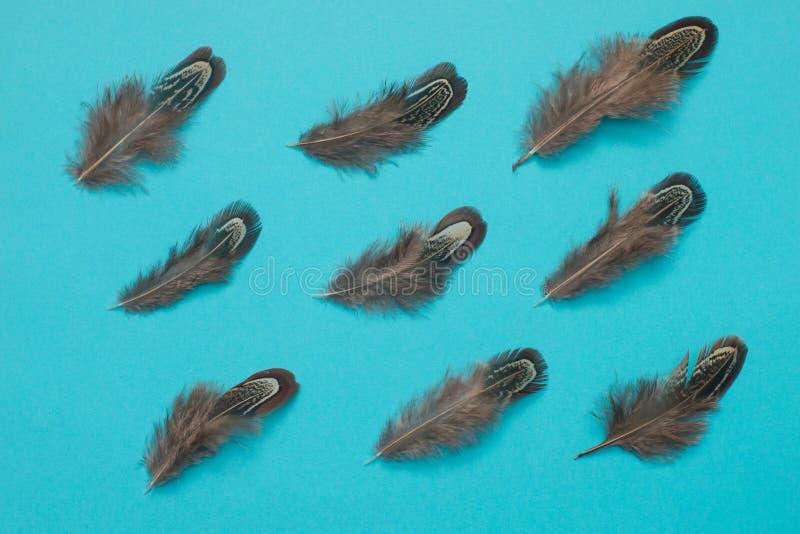 Las plumas del faisán agrupan endecha del plano en fondo azul imagen de archivo