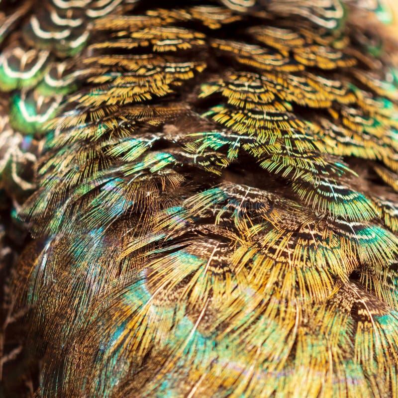 Las plumas del faisán resumen como fondo imagen de archivo