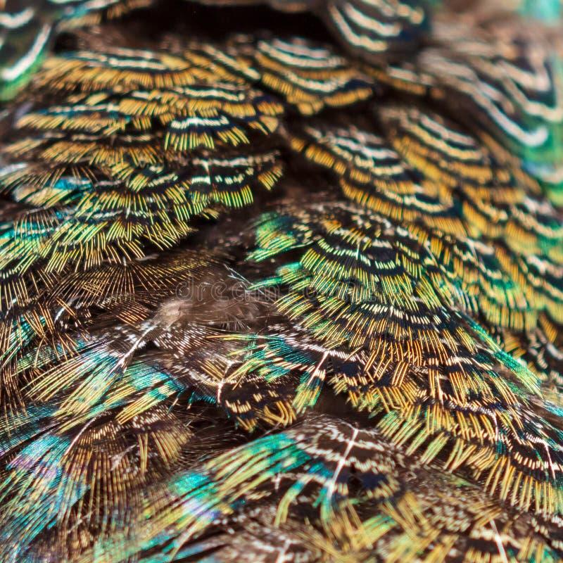 Las plumas del faisán resumen como fondo fotografía de archivo libre de regalías