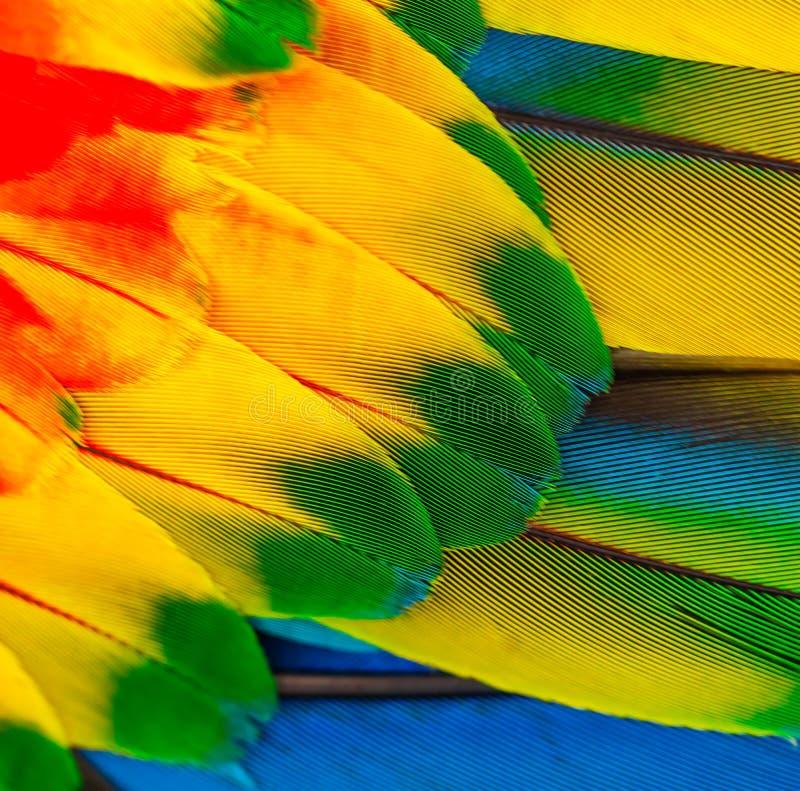 Las plumas del loro amarillean plumas rojas y azules foto de archivo