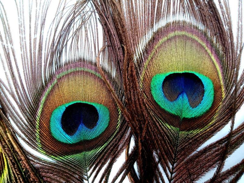 Las plumas del pavo real se cierran para arriba aislado en un fondo blanco fotos de archivo