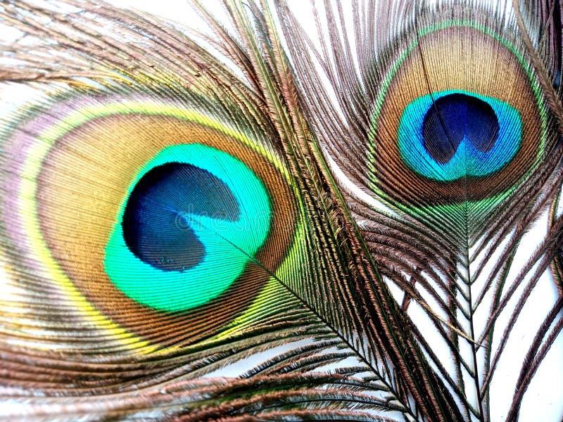 Las plumas del pavo real se cierran para arriba aislado en un fondo blanco foto de archivo libre de regalías