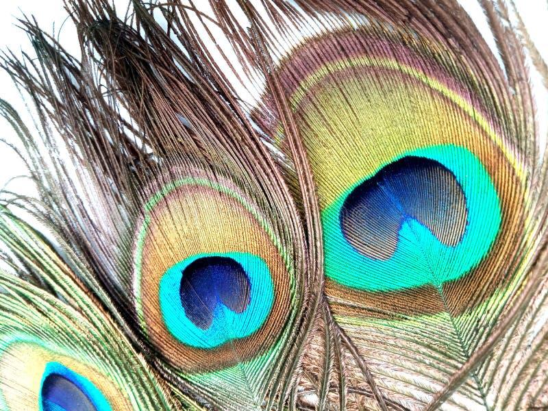 Las plumas del pavo real se cierran para arriba aislado en un fondo blanco imagen de archivo libre de regalías