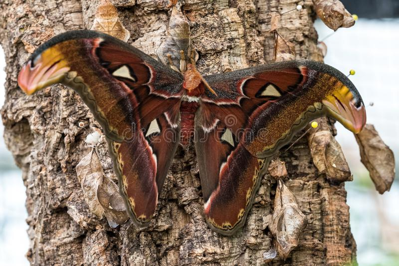 Las polillas de atlas de Attacus son uno de los lepidopterans m?s grandes del mundo imagenes de archivo
