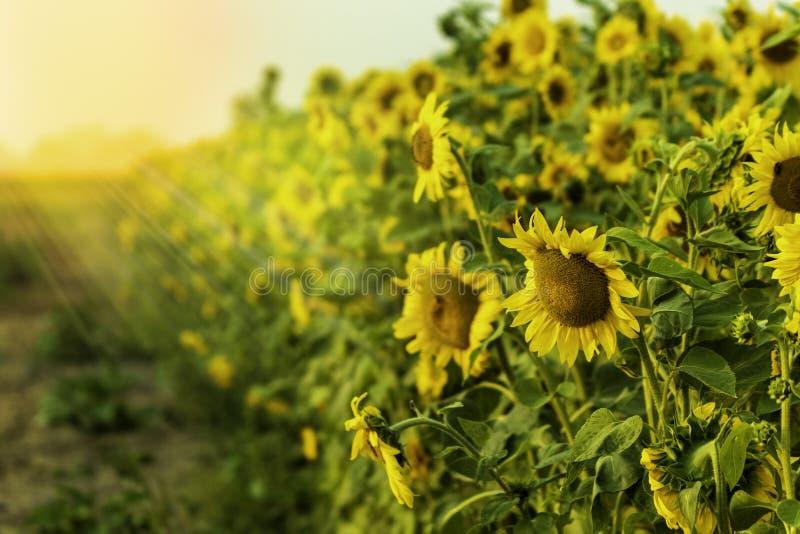 Las porciones de girasoles hermosos en fila con Sun irradian el brillo fotografía de archivo libre de regalías