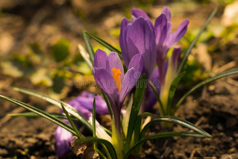 Las primeras azafranes de la violeta de la primavera imagenes de archivo