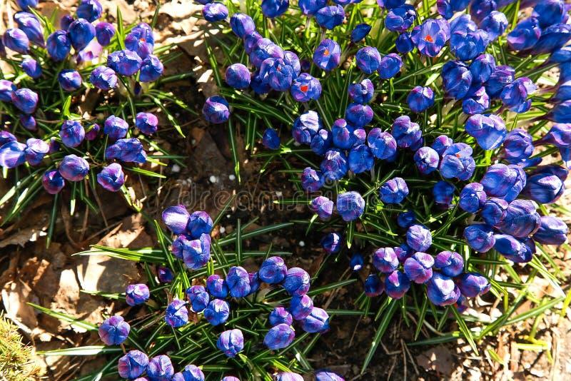 Las primeras flores azules del azafrán florecieron en el jardín en primavera temprana foto de archivo libre de regalías