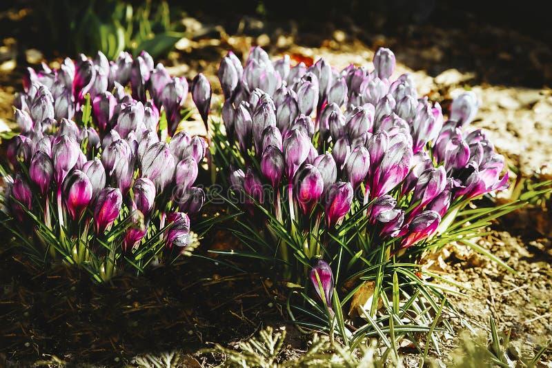 Las primeras flores de las azafranes rojas blancas florecieron en el jardín cerca de la casa fotos de archivo libres de regalías