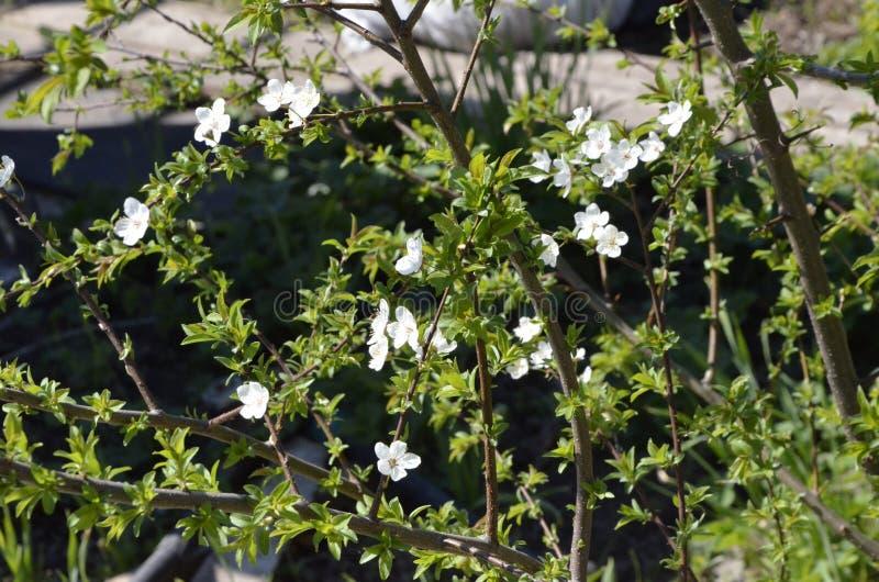 Las primeras flores de cerezo blancas foto de archivo