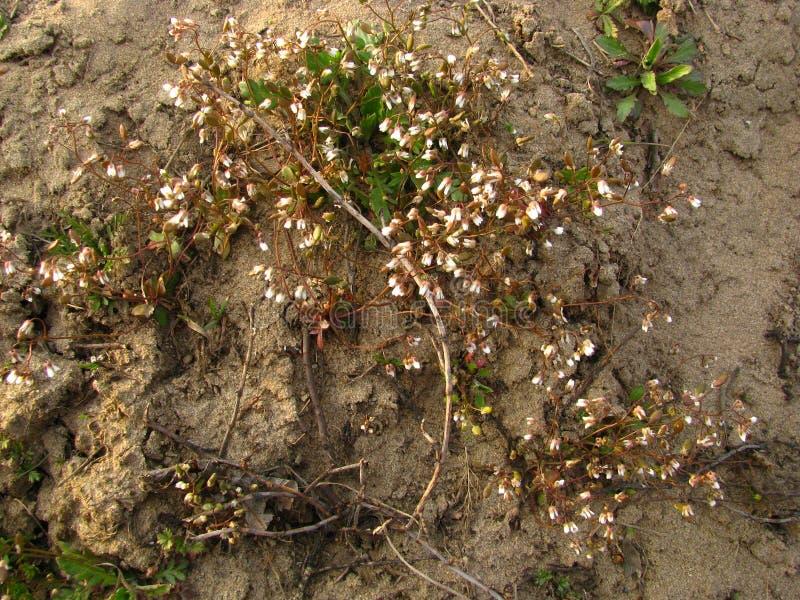 Las primeras flores de la primavera en el banco arenoso del río imagenes de archivo