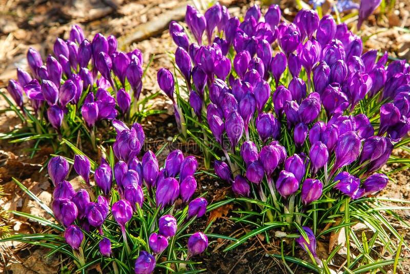 Las primeras flores del azafrán púrpura florecieron en el claro del bosque fotos de archivo libres de regalías