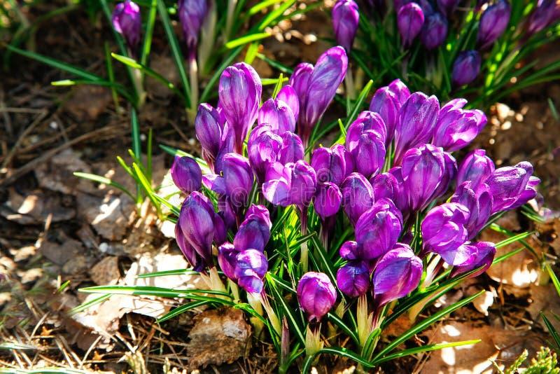 Las primeras flores del azafrán púrpura florecieron en primavera temprana imagen de archivo libre de regalías