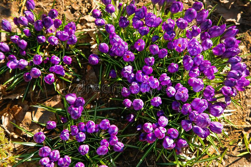 Las primeras flores del azafr?n p?rpura florecieron en el claro del bosque fotografía de archivo
