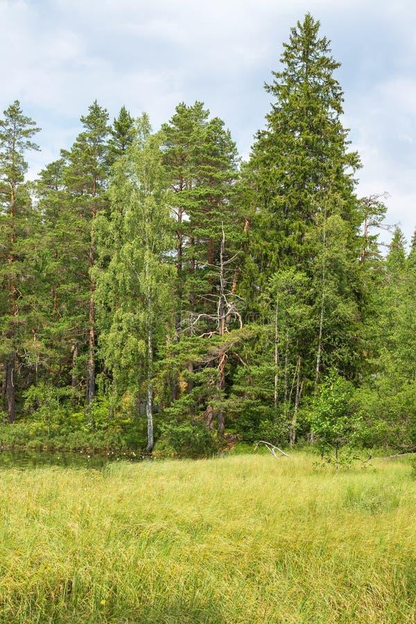 Las przy bagna obraz stock