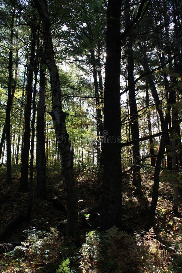 Las przy półmrokiem obrazy royalty free