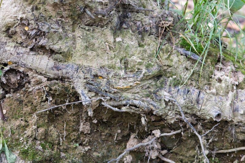 Las raíces de árboles en la tierra con el musgo foto de archivo libre de regalías