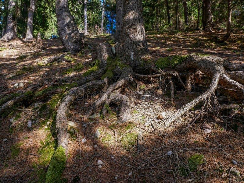 Las raíces del árbol de pino se cierran encima de tiro en el bosque fotografía de archivo libre de regalías