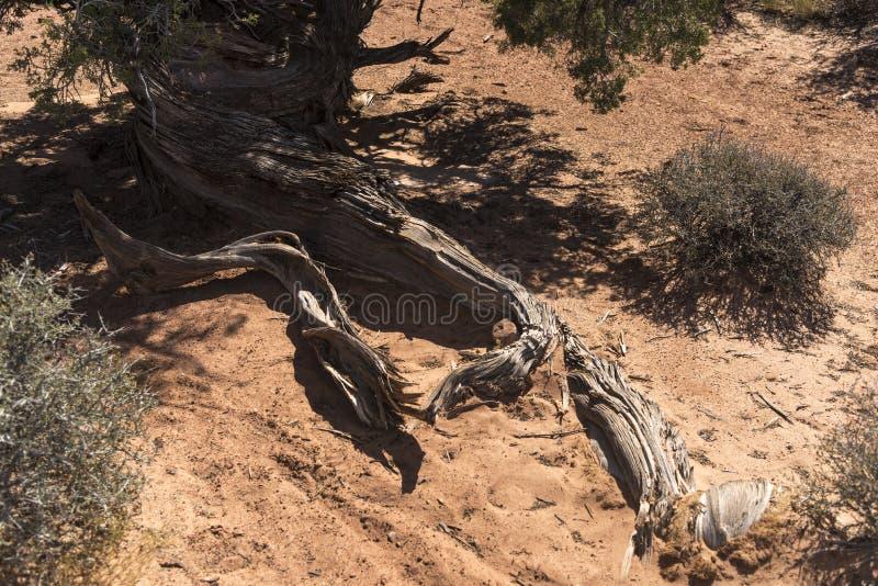 Las raíces del cepillo del desierto, arquean el parque nacional Moab Utah imágenes de archivo libres de regalías