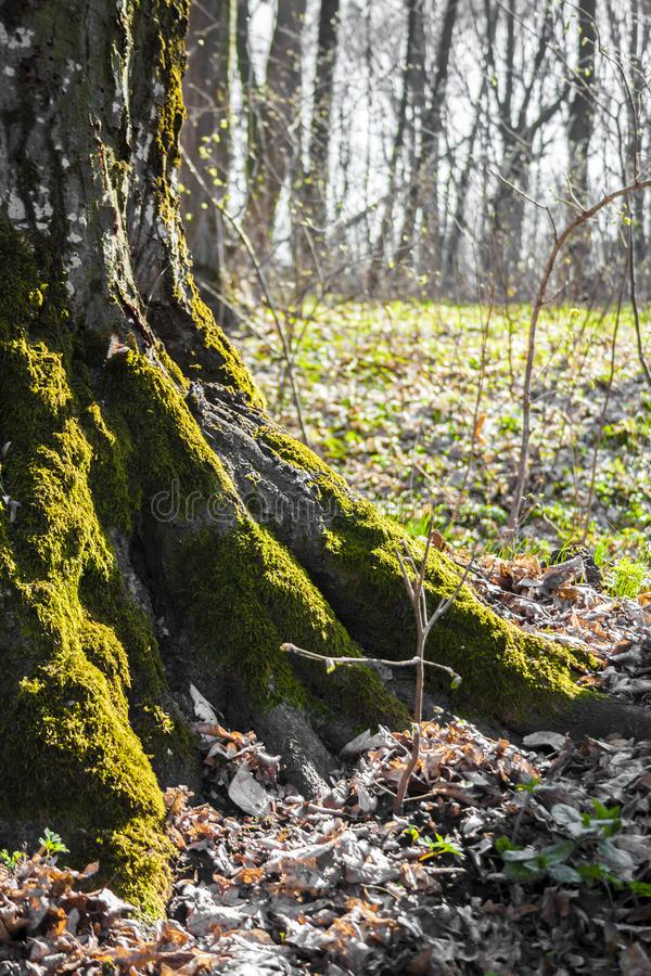 Las ra?ces del ?rbol viejo cubiertas con el musgo en el bosque de la primavera fotos de archivo libres de regalías
