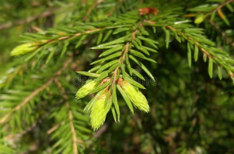 Las ramas comieron con los lanzamientos jovenes imagen de archivo