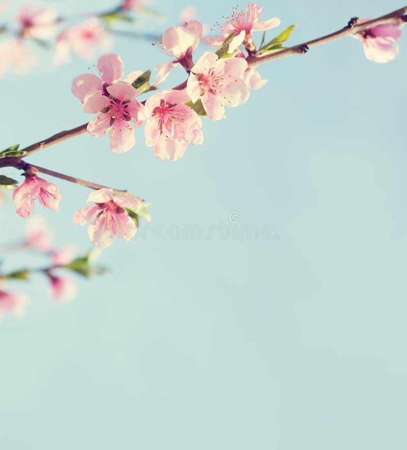 Las ramas con rosa hermoso florecen el melocotón contra el cielo azul imagen de archivo