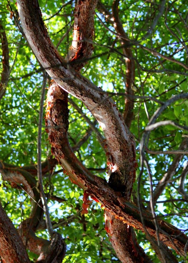 Las ramas de árbol coloridas del limbo del Gumbo entrelazaron en Islamorada en las llaves de la Florida fotos de archivo libres de regalías
