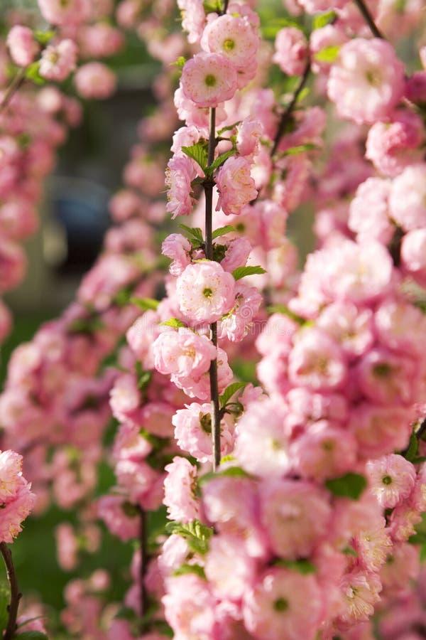 Las ramas de las almendras decorativas cubiertas en flores foto de archivo