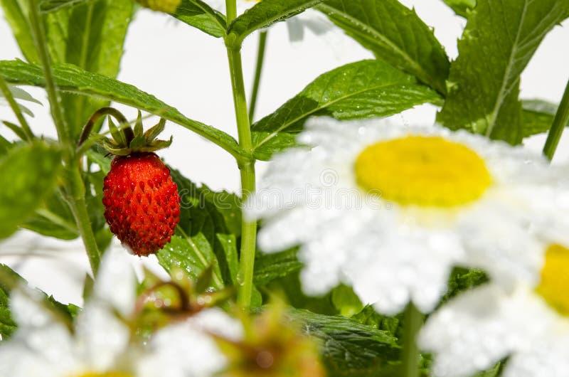 Las ramas de fresas maduras rojas, de margaritas blancas y de hojas de menta se colocan en un vaso de agua en un toc?n de madera imagen de archivo