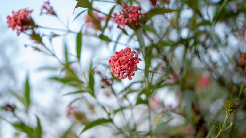 Las ramas de la flor rosada del penta del arbusto que florece con verdor dejan follaje en el cielo azul, lo saben como la rosa de imagen de archivo libre de regalías