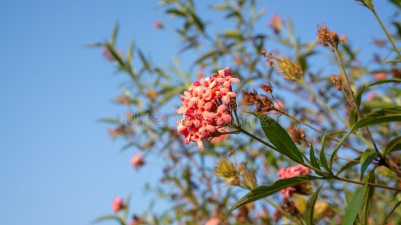 Las ramas de la flor rosada del penta del arbusto que florece con verdor dejan follaje en el cielo azul, lo saben como la rosa de fotografía de archivo