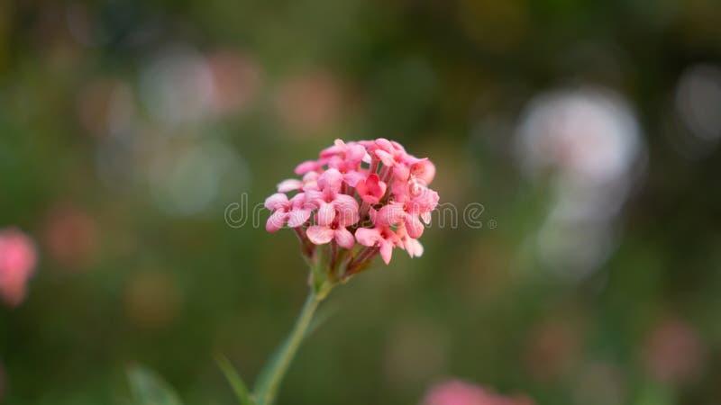 Las ramas de la flor rosada del penta del arbusto que florece en el verdor borroso salen de follaje, lo saben como la rosa de Pan foto de archivo libre de regalías