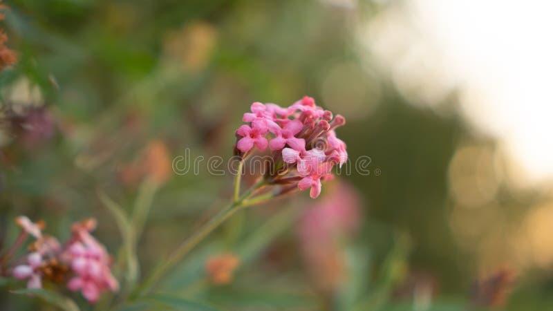 Las ramas de la flor rosada del penta del arbusto que florece en el verdor borroso salen de follaje, lo saben como la rosa de Pan fotos de archivo libres de regalías